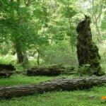 جنگل کشپل چمستان